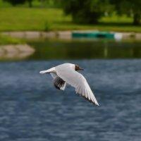 Полет чайки :: OLCEN Лен