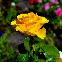 Роза золотистая  жёлтая :: Анатолий