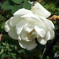 Белая роза :: Freddy 97