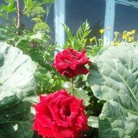 Розы :: Лариса Рогова