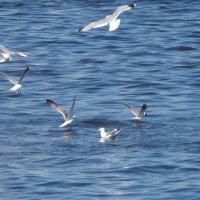 чайки над кольским заливом :: Людмила Жердева