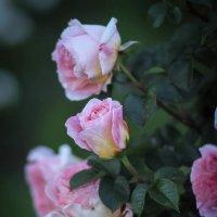 Розовые розы. :: Nonna