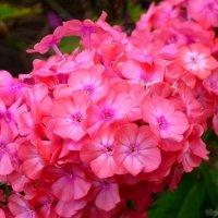 Розовая пена цветочных наслаждений :: Виктор ☼TYGRYS☼
