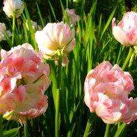 Начало июня - цветение тюльпанов! :: Лия ☼