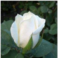 Воплощение нежной чистоты... :: Тамара (st.tamara)