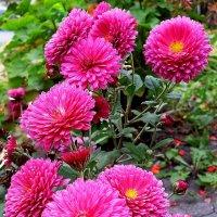 Осенние хризантемы. :: Ирина