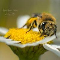 Ромашковые вкусняшки для пчелки очаровашки.. :: Ирина Котенева