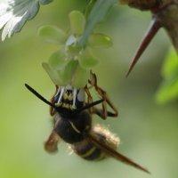 пчелка-труженица :: Лариса Ефимова