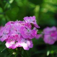 еще мамины цветы :: Гульнара Вагисарова