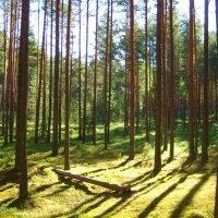 Утро в сосновом лесу :: Вита Чернышева (CheVita)