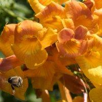 Оранжевый цветок и пчёлка :: Александр Деревяшкин