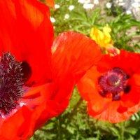Маков цвет :: Варвара Шонгина