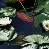 Две лилии поссорились с утра... :: Лесо-Вед (Баранов)