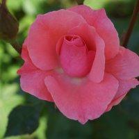 Роза :: Аркадий О(*_*)О