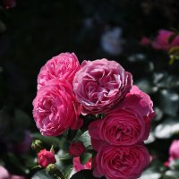розовые мечты :: Августа