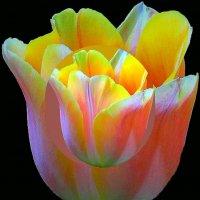 Тюльпан в ночи :: Владимир Хатмулин