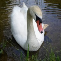 Белый лебедь-шипун :: BoxerMak Mak