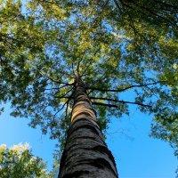 Когда деревья были большими :: Александра К