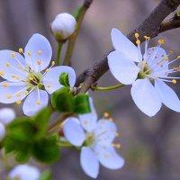 Весна с вишнёвым ароматом :: *ALISA* ( minck55 )