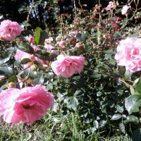 Розы :: Елена Бударевская