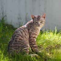 Кошка :: Сергей Михальченко