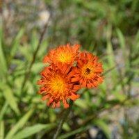 Оранжевый цветок :: Илья Намаконов