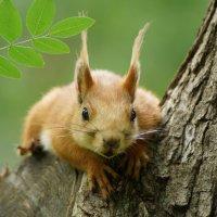 белка летняя, молодая, любопытная. :: Андрей Печерский