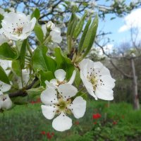 Цветы на яблоне :: Михаил Мордовин