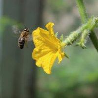 Пчёлка :: Юлия Павлова