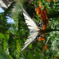 бабочка :: Анастасия Лыкова