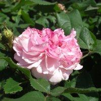Пышная роза :: Арина