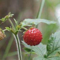 ягоды земляники :: Татьяна