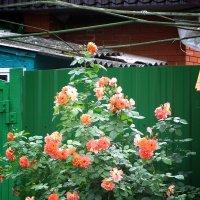 розы :: Виктор Калабухов