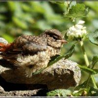 слеток горихвостки :: linnud
