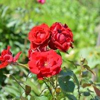 розы :: Ольга Кирьяшева