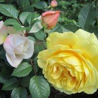 розы Austin :: lenrouz