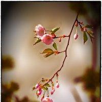 Сакура :: Leo Alex Photographer
