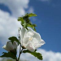 Цветок Гибискуса :: Константин Фролов