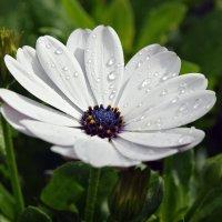После утреннего дождика :: Ольга Диброва