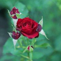 Царица цветов :: Ясения Вальковская