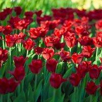 Тюльпаны :: Александр Пронь