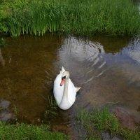 Лебедь на пруду :: BoxerMak Mak