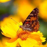 бабочка и желтый цветок :: Александр Потапов