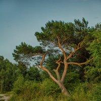 Дерево :: Елена Выбиранец