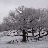 Зима. Дуб в парке Дубового :: Владимир Уваров
