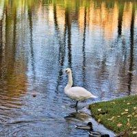 Лебеди в Летнем саду :: Наталия Зыбайло
