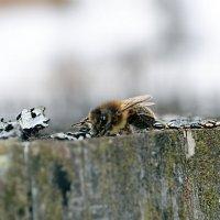 Пчела :: Ирина Красных