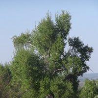 дерево :: Анна Захарова