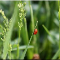 Красная горошина, чёрненькие точки.... :: Ирина Таболина