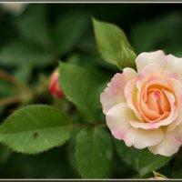 розы :: Татьяна Панчешная